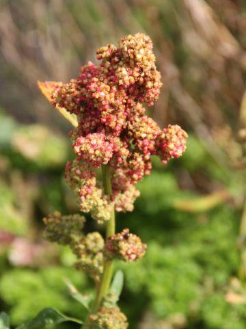 Chenopodium quinoa - Gierstmelde