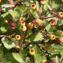 Acmella oleracea - Champagneblad, ABC-kruid, parakers, huzarenknoop