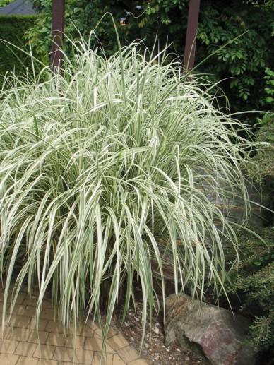 Glyceria maxima 'Variegata' - Bont liesgras