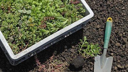 Eko Groendak Systeem, Sedum Plugs op substraat (Sedumdak, dakbeplanting)