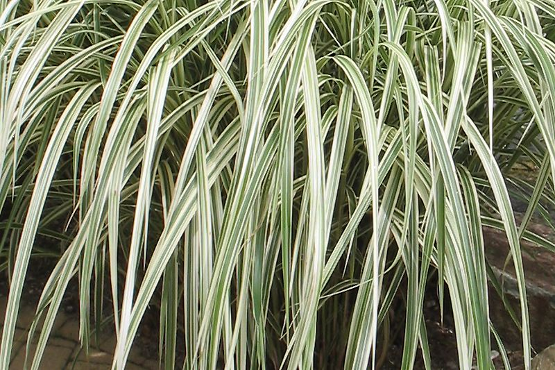 Glyceria maxima 'Variegata' (Liesgras)