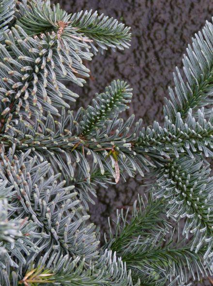 Abies pinsapo 'Glauca' (Spaanse den, Spaanse zilverspar)