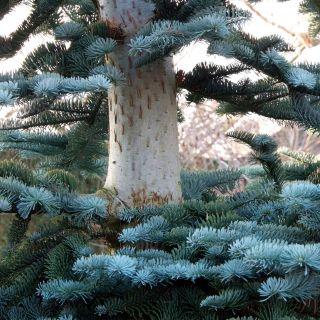 Abies procera 'Glauca' (Blauwspar, edele zilverspar, zilverspar, nobilisspar)