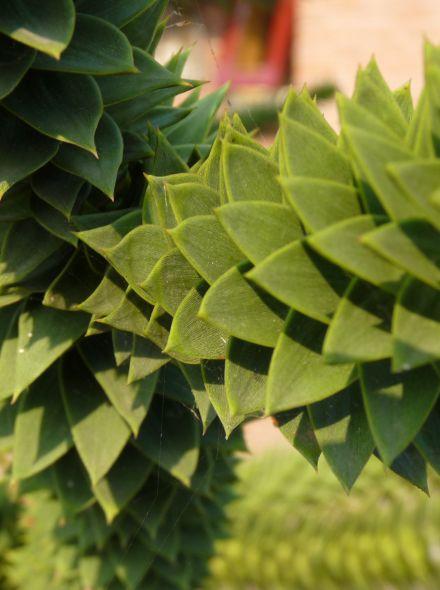 Araucaria araucana (Slangenden, Apenboom, Apenbroodboom)