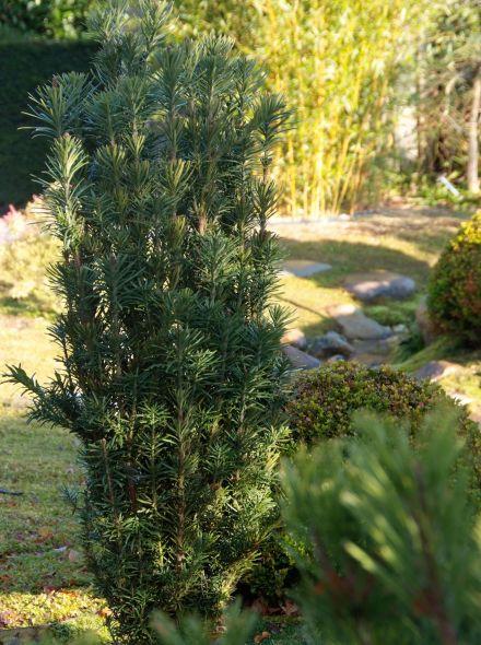 Cephalotaxus haringtonia 'Fastigiata' (Knoptaxus)