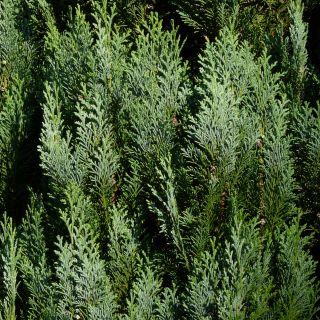 Chamaecyparis lawsoniana 'White Spot' (kant en klaar haag conifeer)