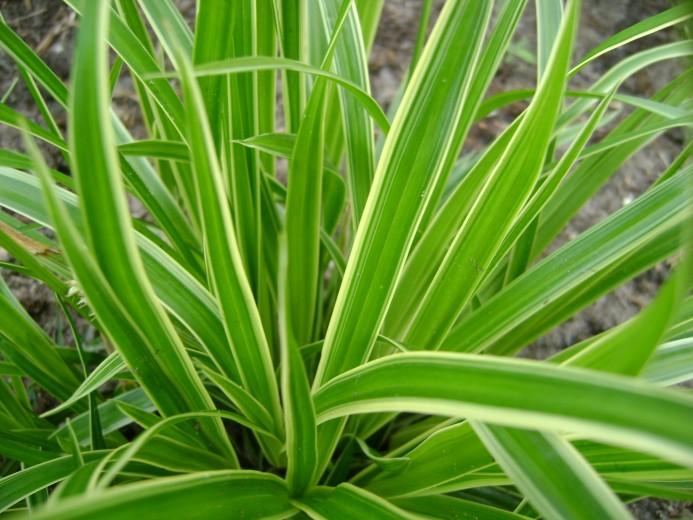 Carex morrowii 'Variegata' (Geelbonte Japanse zegge, Japan Segge, Evergreen Japanese Sedge)