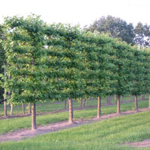 Gebruik de meerwaarde van vormbomen!