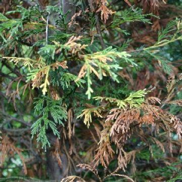 Mijn coniferen worden bruin, hoe kan dat?