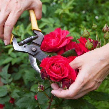 Hoe verzorg ik mijn rozen?
