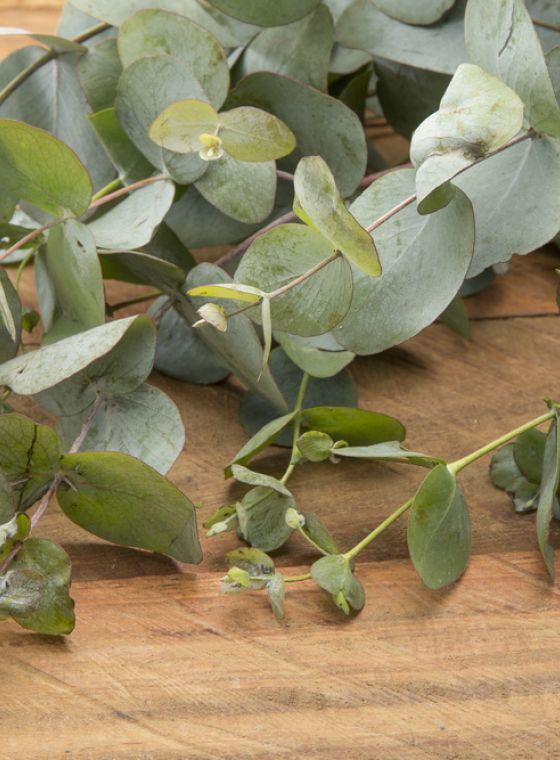 Hoe moet ik Eucalyptus snoeien?
