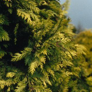 Chamaecyparis lawsoniana 'Ivonne' (Californische cipres, Gele haagconifeer, Lawson cipres)