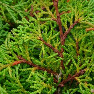 Chamaecyparis obtusa 'Nana Aurea' (Japanse cipres, schijncipres)