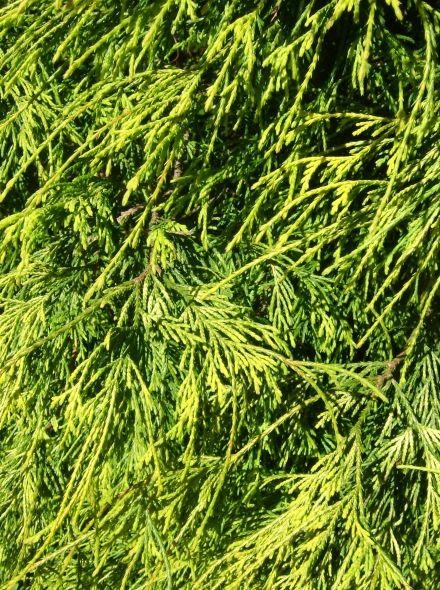 Chamaecyparis pisifera 'Sungold' (Draadcipres, Schijncipres)