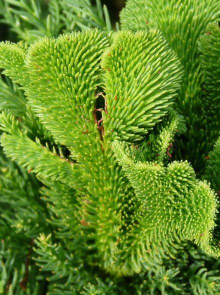 Cryptomeria japonica 'Cristata' (Japanse hanekam, Japanse cipres)