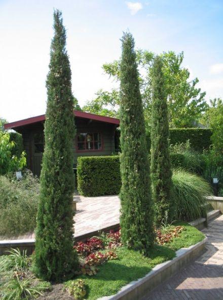 Cupressus sempervirens 'Stricta' (Italiaanse cipres)