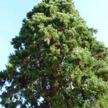 Wat is een mammoetboom?