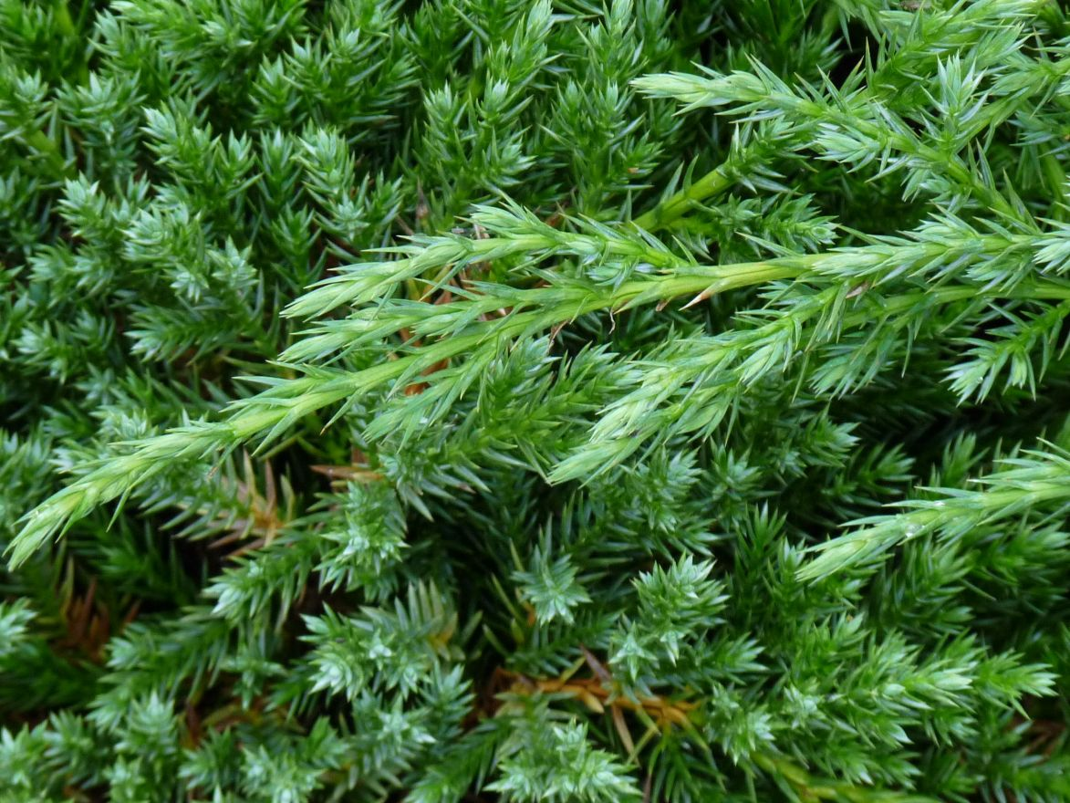 Juniperus chinensis 'Blue Alps' (Chinese jeneverbes)