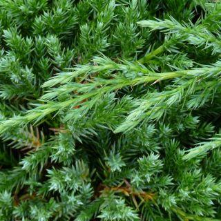 Juniperus chinensis 'Blue Alps' (Chinese jeneverbes)