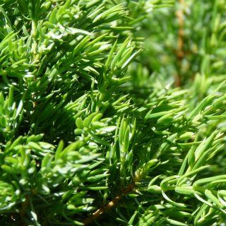 Juniperus communis 'Green Carpet' (Jeneverbes)