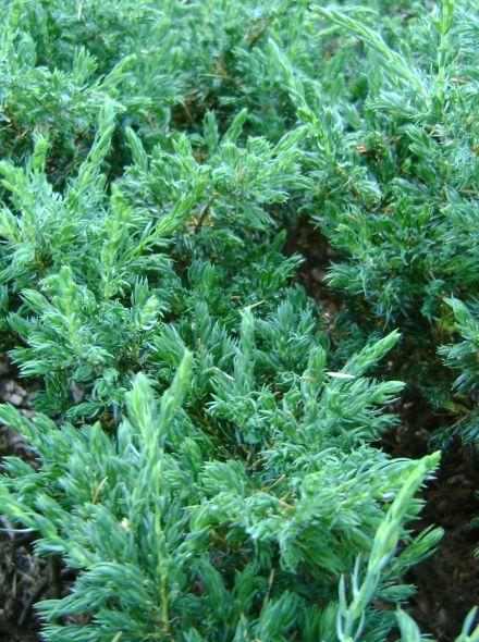 Juniperus communis 'Repanda' (Jeverbes, Kruipende jeneverbes)