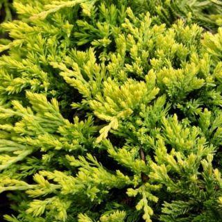 Juniperus horizontalis 'Golden Carpet' (Kruipende jeneverbes)