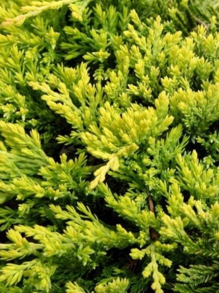 Juniperus horizontalis 'Golden Carpet' (Kruipende jeneverbes)