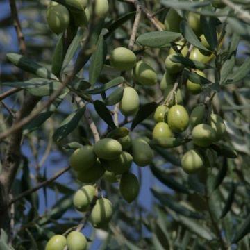 Hoe verzorg ik een olijfboom?