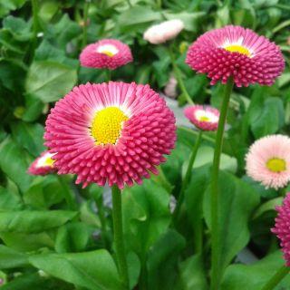 Bellis perennis roze (eenjarig madeliefje, kleur roze)