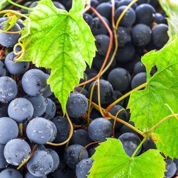 Hoe verzorg ik druiven?