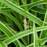 Carex morrowii 'Variegata' (Geelbonte Japanse zegge, Japan Segge, Evergreen Japanese Sedge)