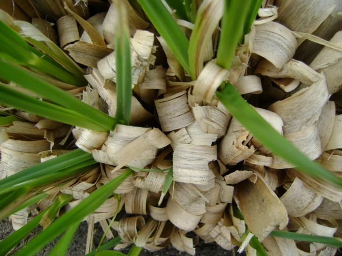 Cortaderia selloana (Pampasgras, Amerikanische Pampasgras, Silber-Pampasgras, White Pampas Grass)