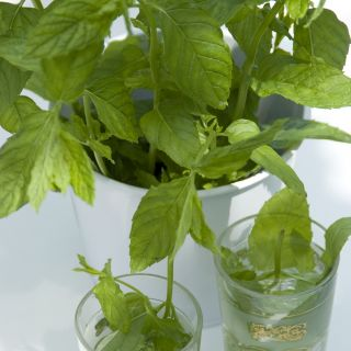 Mentha piperita (pepermunt, Pfefferminze, Peppermint)