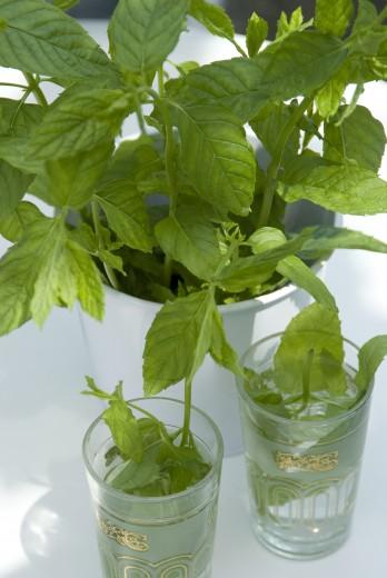 Mentha piperita (pepermunt, Pfefferminze, Peppermint)