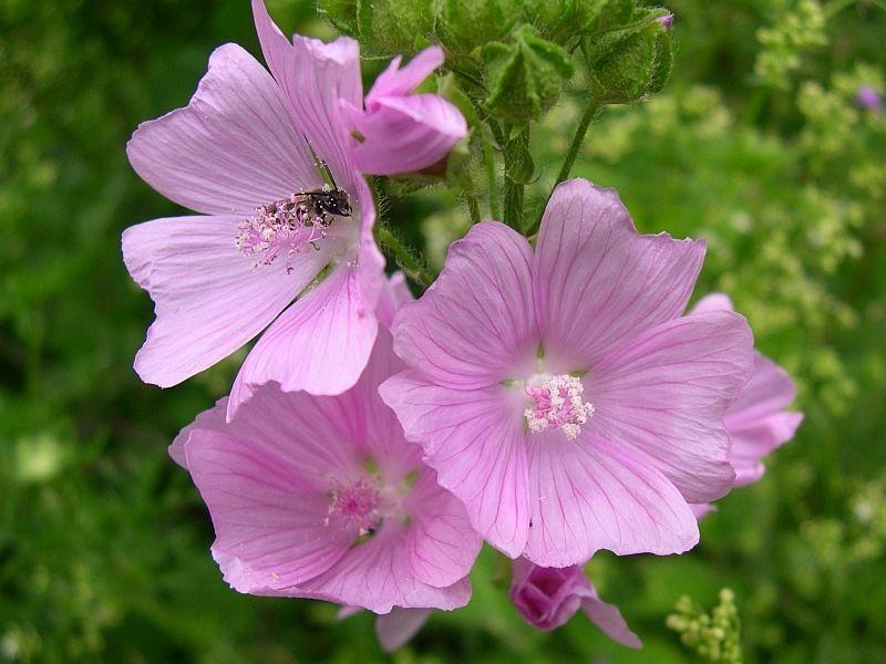 Borderpakket natuurlijke bloemenweide 1 (Natuurlijke tuin - 10 m2)