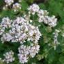 Origanum vulgare (Wilde marjolein, Wilde Majoraan, Oregano, Majoran)