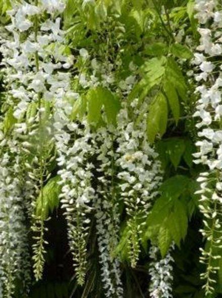Wisteria floribunda 'Longissima Alba' (witte blauwe regen)