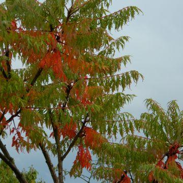 Wat is de beste manier om een fluweelboom te verwijderen?