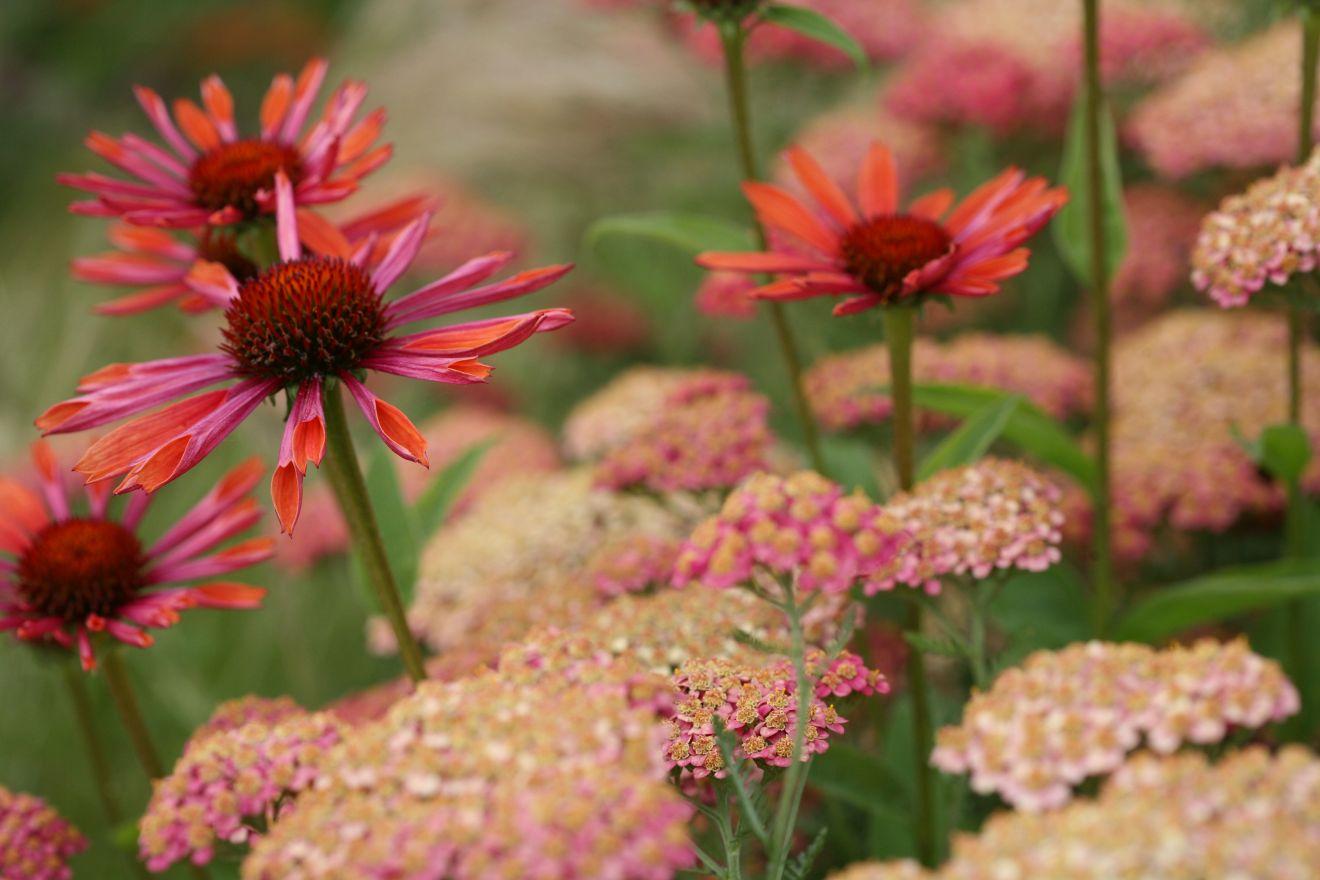 Planten Voor Bijen.Vaste Planten Borderpakket Voor Bijen 8 M2 Roze Rood De