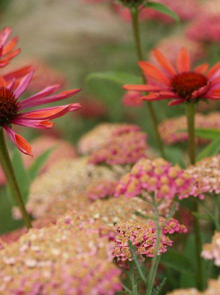 Vaste planten borderpakket voor bijen - 8 m2 (Roze - Rood)