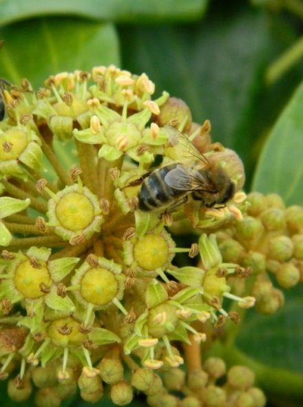 Vaste planten borderpakket voor bijen - 3 m2 (Wintergroen)