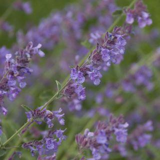 Nepeta x faassenii 'Walker's Low' (Kattenkruid, Hybrid-Katzenminze, Catmint, Faassen's catnip)