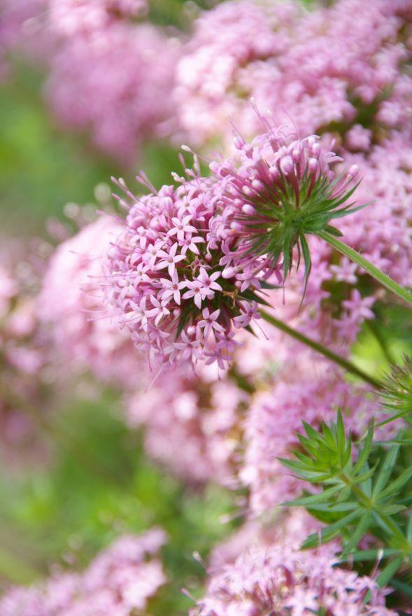 Planten Voor Bijen.Vaste Planten Borderpakket Voor Bijen 3 M2 Wit Roze