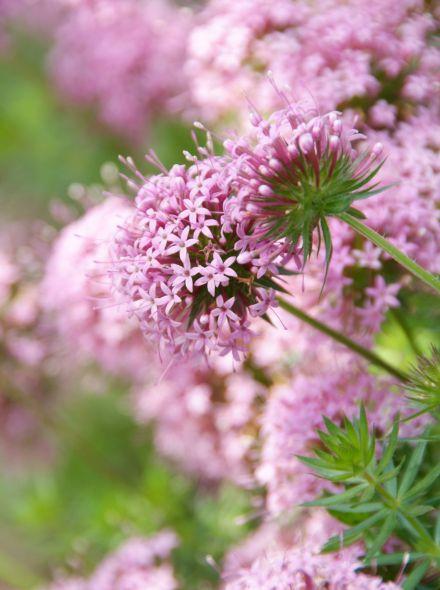 Vaste planten borderpakket voor bijen - 3 m2 (Wit - roze)