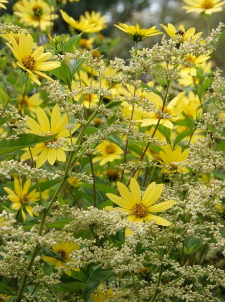 Vaste planten borderpakket voor bijen - 6 m2 (Geel - Wit)