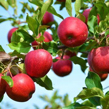 Hoe en wanneer kan ik mijn appelboompje verplanten?