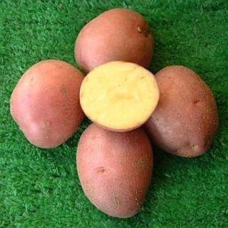 Bildstar pootaardappelen (2,5 kg., Late soort, zeer goede bewaaraardappel)