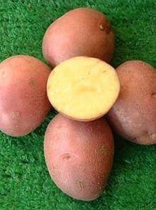 Bildstar pootaardappelen (1 kg., Late soort, zeer goede bewaaraardappel)