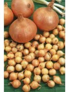 Sturon plantuien (1 kilogram, ronde ui)