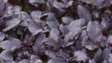Basilicum, Ocimum basilicum, Koningskruid (zaad)